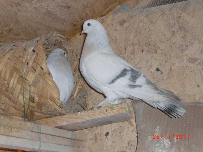 Badge Tumbler Pigeons for Sale http://surrey.localmarketpets.com/animals/crack-tumblers-pigeon_1978807.html